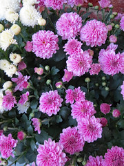 Mums. (dccradio) Tags: lumberton nc northcarolina robesoncounty outdoor outdoors outside canon powershot elph 520hs september tuesday evening tuesdayevening goodevening mum mums colorful plant flower floral flowers bloom blooming blooms blossoming blossoms blossom