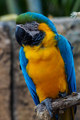 Hyacinth Macaw (Joey Hinton) Tags: olympus omd em1 40150mm f28 palm beach zoo florida mft m43 microfourthirds