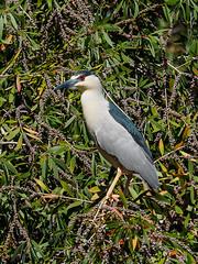 Night Heron (Joey Hinton) Tags: olympus omd em1 40150mm f28 palm beach zoo florida mft m43 microfourthirds