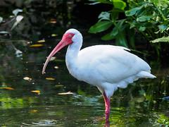 White Ibis (Joey Hinton) Tags: olympus omd em1 40150mm f28 palm beach zoo florida mft m43 microfourthirds