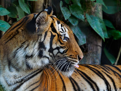 Tiger (Joey Hinton) Tags: olympus omd em1 40150mm f28 palm beach zoo florida mft m43 microfourthirds