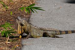 Iguana (Joey Hinton) Tags: olympus omd em1 40150mm f28 palm beach zoo florida mft m43 microfourthirds