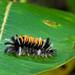 Milkweed Tussock Moth Larva
