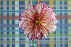 259/365 Dahlia (Maggggie) Tags: lines stripes flower dahlia blooming takeaim 365 365the2019edition 3652019