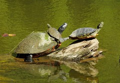 Northern Red-bellied Turtle, Northern Map Turtle, and Red-eared Slider (sstaedtler) Tags: turtles reptile nature wildlife animal pennsylvania buckscounty creek herping conservation september