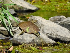 Small Spiny Softshell Turtle basking in creek in the morning (sstaedtler) Tags: turtle softshell reptile nature outside wildlife conservation herping pennsylvania buckscounty park