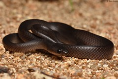 Stegonotus Cucullatus (Slatey Grey Snake) (Tom Frisby) Tags: snake reptile animal fauna wildlife australia qld