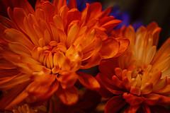 Cut flowers (Stephen G Nelson) Tags: flowers macro stilllife canoneossl1100d