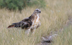 Ravenous Red-tail (Tommy Quarles) Tags: redtailed hawk camp chiricahua hidalgo new mexico nm canon 7d mark ii