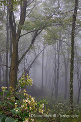 Foggy Woodscape...