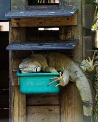 Thieving Iguana (Joey Hinton) Tags: olympus omd em1 40150mm f28 palm beach zoo florida mft m43 microfourthirds