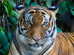 Tiger (Joey Hinton) Tags: olympus omd em1 40150mm f28 palm beach zoo florida mft m43 microfourthirds tiger