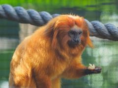 Golden Lion Tamarin (Joey Hinton) Tags: olympus omd em1 40150mm f28 palm beach zoo florida mft m43 microfourthirds
