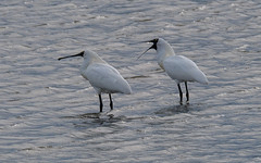 Now listen up! - Royal spoonbill speaking its mind (Maureen Pierre) Tags: royalspoonbill large white bird ashleyestuary river activity tide blackbilledspoonbill selfintroduced spreading pair male female spoon bill