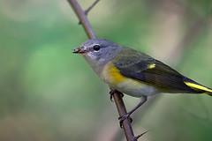 American Redstart (K to the Jay) Tags: americanredstart bird nikon200500