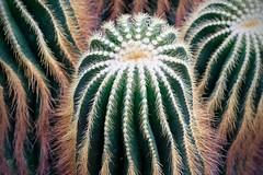 Cactus of Brazil (Mondmann) Tags: parodiawarasii cactaceae cactus plant brazil riograndedosul unitedstatesbotanicgarden washingtondc usa unitedstates america mondmann fujifilmxt20 nature iucnredlistofthreatenedspecies endangered eriocactuswarasii notocactuswarasii