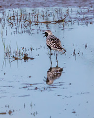 Black-Bellied Plover (erik.karole) Tags: blackbelliedplover plover birds