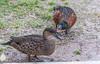 Quack, quack, quack says the male duck. A pair of Chestnut Teal ducks.