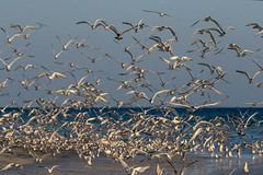 Flock of Sandwich Terns Takeoff (dbadair) Tags: outdoor seaside shore sea water nature wildlife 7dm2 7d ii ef100400mm ocean canon florida bird