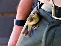 If you want a friend...      IMG_6594 (PRS North Star) Tags: littlebirds warblers buddies backyardbirds