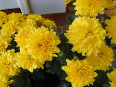 Yellow Mums. (dccradio) Tags: lumberton nc northcarolina robesoncounty outdoor outdoors outside canon powershot elph 520hs september tuesday evening tuesdayevening goodevening mum mums colorful plant flower floral flowers bloom blooming blooms blossoming blossoms blossom