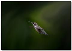DSC_4564 (cynthiathayer2017) Tags: hummingbird