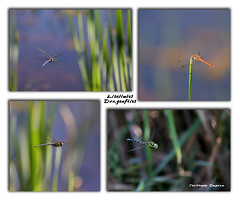 25082019 EOS 6D Mark II - 121_Pêle-mêle Libellules1 (ChristDup) Tags: insecte libellule dragonfly animal bokeh nature extérieur canon canoneos6dmarkii canonef70200mmf28lisiiusm