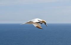 Fou de bassan, Parc National de l'île Bonaventure (val9907) Tags: nikon animal wildlife nature oiseauenvol seabird bird oiseaux