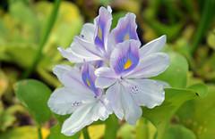 Water Hyacinth (Larah McElroy) Tags: photograph photography picture pictures larah mcelroy larahmcelroy plant plants flower flowers hyacinth waterhyacinth