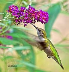 Hummingbird (richardbmarlow) Tags: nature bird hummingbird flower outdoors wild