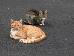 Daily Colours - Lounging on the New Driveway (Pushapoze (MASA)) Tags: olive horatio cats chats strays driveway