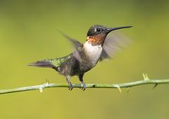 Male Ruby-throated Hummingbird (Elizabeth Wildlife) Tags: rubythroated hummingbird