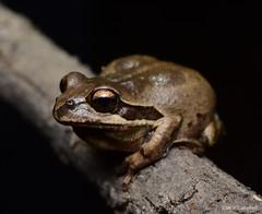 Whistling Tree Frog (Litoria verreauxii). Sydney, NSW (Jesse's Wildlife) Tags: nature animal sydneyfrogging herpetology jessecampbell jesseswildlife amphibians fauna hylidae frogging litoriaverreauxii whistlingtreefrog