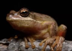 Jervis Bay Tree Frog (Litoria jervisiensis). Sydney, NSW (Jesse's Wildlife) Tags: animals herping frogs sydneyfrogging amphibians jessecampbell jesseswildlife hylidae nature fauna litoriajervisiensis jervisbaytreefrog