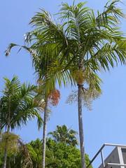 The line of Carpentarias beside the café, Mt Coot-Tha BG (tanetahi) Tags: mtcootthabotanicgardens brisbanebotanicgardens carpie carpentariaacuminata native australian palm tanetahi