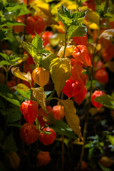 Physalis (tonguedevil) Tags: outdoor outside countryside summer nature garden flowers physalis plants orange colour light shadows sunlight