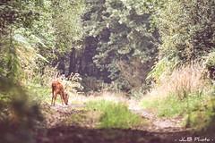Roe deer (j_lebloch) Tags: chevreuil brocard roe deer european capreolus nature naturephotography naturephoto wildlife wildlifephotographer wildanimal bretagne brittany naturepic wildlifephotography wildlifephoto animal animalphoto animalpic planet nikon nikonfrance d7500 tamron 600mm