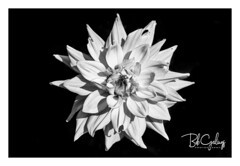 I used to be yellow (Bob Geilings) Tags: flower monochrome dahlia nature macro white black closeup dark mood flora background summer shadow plant vegetation plantlife