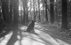 Totoro (Jos Mecklenfeld) Tags: totoro dutchshepherd dutchshepherddog hollandseherder hollandseherdershond holländischerschäferhund shepherd shepherddog herder herdershond schäferhund dog hund hond monochrome bw minoltax700 minoltamdrokkor45mm minoltamdrokkor minoltamdrokkor45mm12 minoltamdrokkor45mmf20 rokkor minolta x700 rolleirpx400 rollei rpx400 epsonv500 35mm film ishootfilm expiredfilm analog analogue hiking wandern wandelen