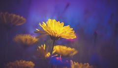wildflower (Dhina A) Tags: sony a7rii ilce7rm2 a7r2 a7r minolta rf rokkorx 250mm f56 mirror reflex minolta250mmf56 md prime rokkor bokeh manualfocus