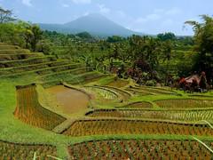 Jatiluwih Rice Terrace, Bali (Stephen Walford Photography) Tags: jatiluwih rice terrace bali indonesia travel green colour sky blue mountain traveldestination southeastasia olympus em5mark2