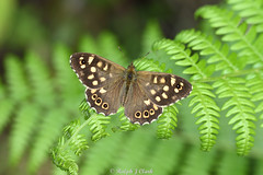 Speckled Wood (Ralph J Clark) Tags: speckledwood butterfly bookhamcommon surrey sigma105mmf28exdgmacroos