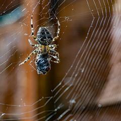 Spidey's Brunch... (Aleem Yousaf) Tags: european garden spider common orb araneus diadematus weaver web water macro nikkor nikon d850 105mm summer day entangled catch fly nature hunt photography london