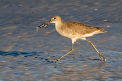 Willet Running with a Crab (dbadair) Tags: outdoor seaside shore sea water nature wildlife 7dm2 7d ii ef100400mm ocean canon florida bird