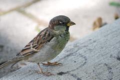 Small city bird (Czar Hey) Tags: bird sparrow housesparrow street urban city dslrphotography sidewalk citybird brown toronto