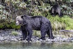 Not Just In The Woods! (gecko47) Tags: animal mammal bear northamericanbrownbear grizzlybear ursusarctos chilkoriver cariboochilcotincoast britishcolumbia urinating peeing riverbank salmonrun