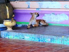 ,, Mr Little Larry The Pipsqueak ,, (Jon in Thailand) Tags: puppy rescuedpuppy rescuedjunglepuppy jungle nikon d300 nikkor 175528 pink purple blue yellow teal green puppyeyes themonkeytemple thespiritcave sickpuppy littledoglaughedstories