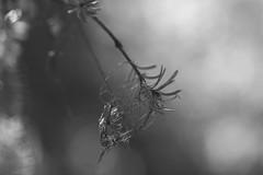 ensnared (rockinmonique) Tags: branch tree needles pine needleslightmacrobokehmonomonochrome bokeh thursdaybwblack whitecanoncanon t6stamrontamron 45 mmcopyright 2019 monique w photography