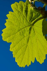 Vine leaves NWF_6894.jpg (ImaginingsLifeImages) Tags: grape plants nature australia magnoliophyta home vitales phanerogamae pyap vitaceae plant eudicot riverlands flora plantae sa angiospermae magnolopsida dicot flowering places vitis