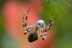 Hiding in full view! (suekelly52) Tags: gardenspider spider arachnid web webwednesday bokeh orbweaver
